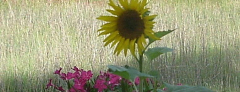Sunflower - Hilton Head Island SC